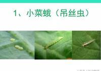 危害蔬菜:小菜蛾、甜菜夜蛾、斜紋夜蛾的防治要點