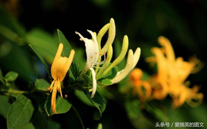 大學生回鄉創業,帶著鄉親們種植金銀花,走上致富路