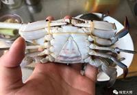淺談梭子蟹