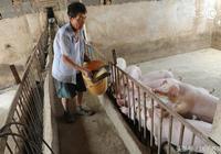 阿莫西林的妙用,養豬人學會了,樂呵呵