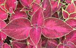 植物圖集:具有觀賞價值的彩葉草,色澤鮮豔明亮