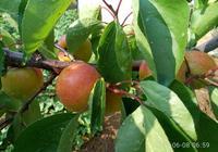又到了杏子成熟的季節