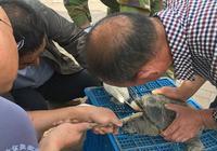甘州區野生動物保護管理站成功救助一隻巨型草龜