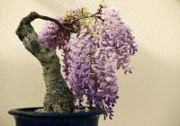 紫藤盆景花多繁茂,適合斜乾式和懸崖式造型,花後要及時去花摘果