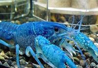 藍龍蝦的藍色是怎麼來的?藍龍蝦比一般的龍蝦味道好麼?