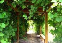農村院子裡怎麼栽種葡萄樹?栽種葡萄樹要注意啥?聽聽過來人咋說
