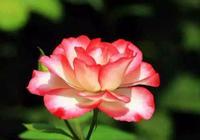 養月季就養以下3個品種,花苞始終保持半開的狀態,你全見過嗎?