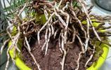 用純泥巴養蕙蘭,你這麼幹,讓挖空心思配花土的花友情何以堪