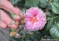 月季花苞還沒打開就焦枯了,是得了這病,這樣救,花蹭蹭開爆盆!