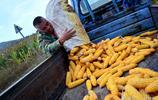 農民種地就像對待自己孩子,雖然玉米不值錢,但也不能盲目去種菜