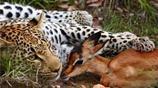 花斑豹捕獲羚羊後抱在懷裡像自己孩子一樣 接下來一幕卻出乎所有人意料!