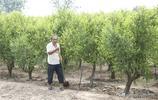 魯北數十萬畝稀罕作物遇乾旱,農民大哥發愁,期望今年賣個好價錢