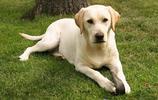 地球上10大最萌的寵物狗,薩摩耶第一,比熊第二,你喜歡哪個?