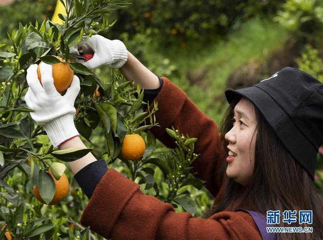 湖北秭歸縣發展晚熟臍橙品種,花果同枝吸引眾多遊客前來觀賞採摘