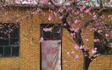 贊皇棋盤山的桃花
