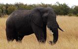 非洲象:種群分佈