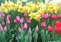 鬱金香和洋水仙有什麼不同,這些球莖花要怎麼栽種?