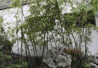 外婆家的院子——江南秀竹