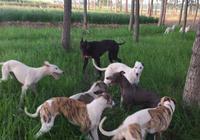 靈緹犬來襲,漂亮敏捷的靈提(格力犬),奔跑速度最快的狗