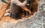 農村大哥挖竹鼠全過程,千辛萬苦後終於有收穫