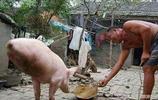 安徽會倒立的豬成網紅,馬戲團出十萬塊錢,豬主人都不願意出賣