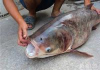 釣鰱魚的餌料?