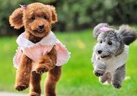 """泰迪犬這5種表現,只是在表達它愛""""慘""""了你,你都感受過嗎?"""