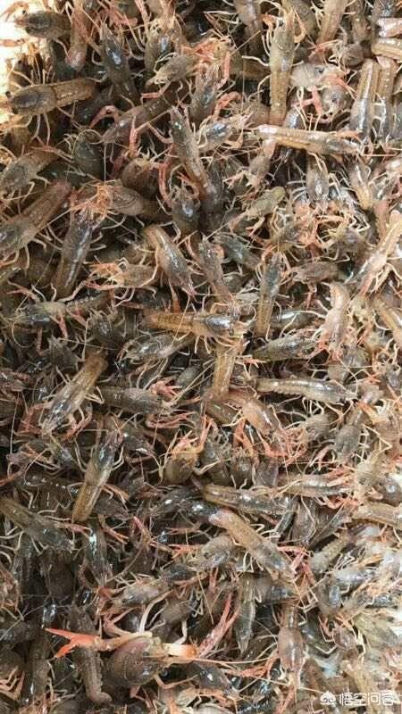 小龍蝦養殖越來越火,你覺得還能火多久?
