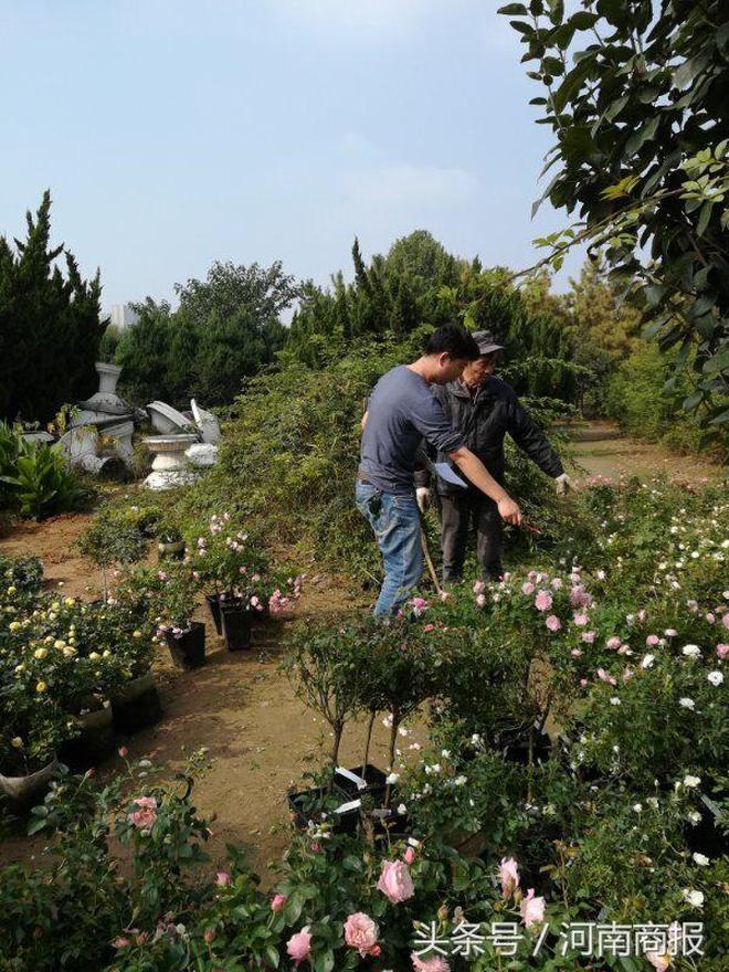 稀罕!68個國外微型月季來鄭州了,會變色、芒果味兒