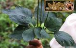 花卉攝影:野棉花