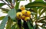 奇葩水果:秋天末開花 初夏果實成熟 葉子似樂器琵琶而得名