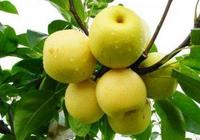 秋天正是吃梨的時節,《本草綱目》告訴你這樣吃梨才養生