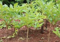 小陳農業經:魔芋發育期——換頭期、球莖急速膨大期、球莖成熟期