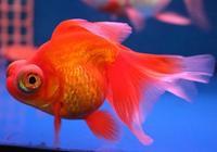 金魚難養嗎?其實只要學會這些知識,養出健康好魚不是難事