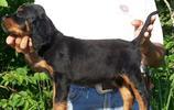 寵物圖集:戈登雪達犬