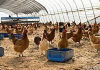 養雞問答:小雞得了白痢怎麼辦?