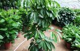 20種青島室內植物,你可能只認識2種