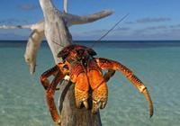 愛吃椰子的強盜蟹——椰子蟹