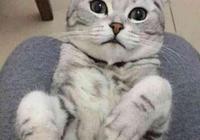 折耳貓出門太浪後悔了,意外懷孕生無可戀,主人卻兩眼冒綠光!