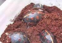 龜因過冬死亡的三大原因