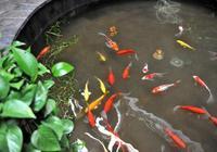 這些觀賞魚為什麼不能混養,有的魚友養的也很好啊?
