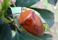 荔枝蝽象、荔枝癭蟎、荔枝龜背天牛的症狀,以及防治方法
