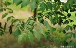 欒樹,花開黃金樹,結果是燈籠樹