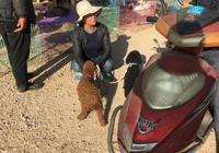 狗市:商販賣的泰迪一黑一紅,看上去非常可愛,你喜歡嗎?