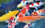 地球10大最適合新手養的冷水觀賞魚,金魚和錦鯉領銜,你養了嗎?