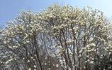河南安陽:殷墟保護區綠地內的百畝玉蘭花美極了,錯過再等一年!