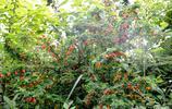中國高等植物之一,長在貴州大山裡,城市裡沒有賣