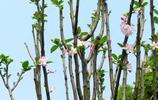 西府海棠既香且豔,花蕾紅豔似胭脂點點是海棠中的上品