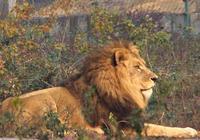 國際上對於獅虎鬥是怎樣評價的?