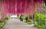 廣東佛山的朋友圈被這春天美景刷屏了,眾多遊客尋著一簾幽夢而去
